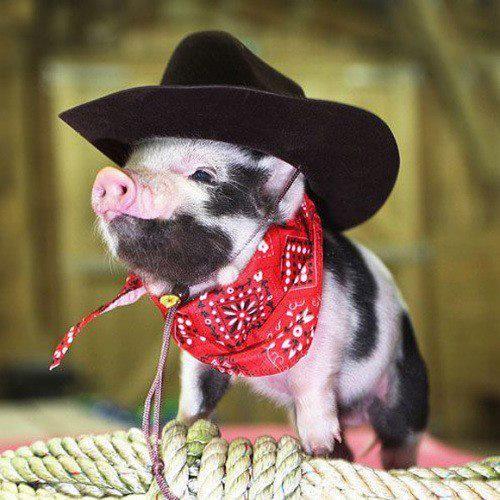 Cochon d guis - Image de cochon mignon ...